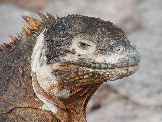 Galapagos Iguana by Visceral Vox, on Flickr