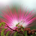 Small photo of Albizia julibrissin