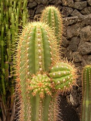 flower(0.0), nopal(0.0), plant stem(0.0), caryophyllales(0.0), acanthocereus tetragonus(1.0), thorns, spines, and prickles(1.0), echinopsis pachanoi(1.0),