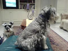 dog breed, animal, dog, pet, lã¶wchen, mammal, standard schnauzer, havanese, schnauzer, cesky terrier, miniature schnauzer, terrier,