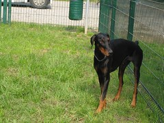 dog breed, animal, dog, german pinscher, manchester terrier, dobermann, pet, guard dog, pinscher, transylvanian hound, austrian black and tan hound, polish hunting dog, carnivoran,