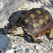 Texas Tortoise - Photo (c) Clinton & Charles Robertson, some rights reserved (CC BY-SA)