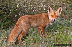 Red Fox (Vulpes vulpes) שועל מצוי