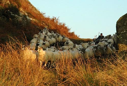 shepherd photo