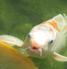 animal(1.0), carp(1.0), fish(1.0), fish(1.0), marine biology(1.0), koi(1.0), goldfish(1.0),