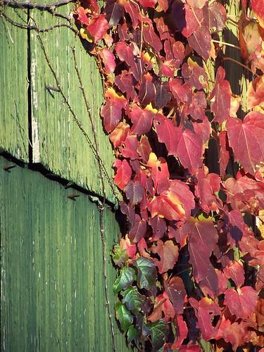 autumn columbus ohio red color green fall leaves leaf garage shingles vivid ivy vine bexley ivyinvasion columbusohioneighborhoods