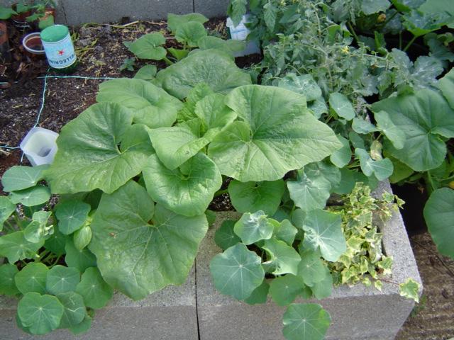Summer squash and nasturtiums