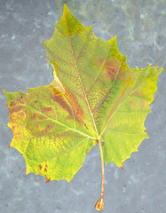 branch(0.0), tree(0.0), plant stem(0.0), autumn(0.0), deciduous(1.0), leaf(1.0), yellow(1.0), grape leaves(1.0), maple leaf(1.0),