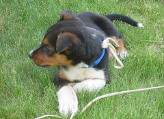dog breed, animal, dog, appenzeller sennenhund, pet, greater swiss mountain dog, carnivoran,