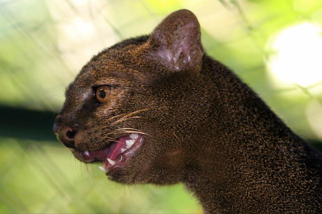 Jaguarundi Flickr Photo Sharing