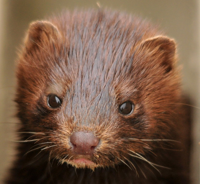 Young Mink on Seedskadee NWR