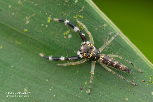 Jumping spider (Salticidae) - DSC_4201