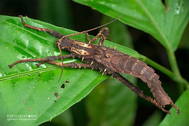 Stick insect (Phasmatodea) - DSC_3917