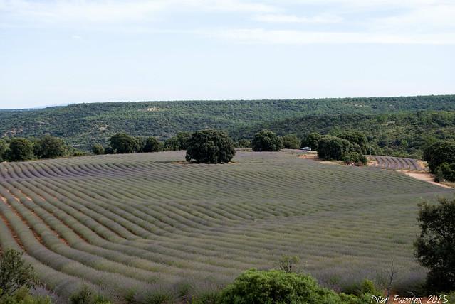 Campos de Lavanda