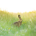 Hare at dusk by carbonbianchi