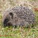 Baby Hedgehog 05-07-15 by phantomfgr2