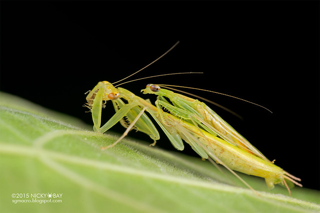 Mantis mating (Tropidomantinae) - DSC_0546