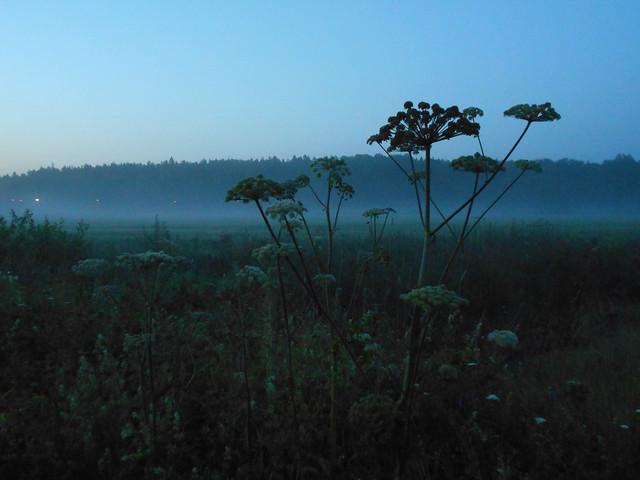 Niittykasveja 17.7.2015 Espoon Karakallion ja Leppävaaran välinen peltoalue
