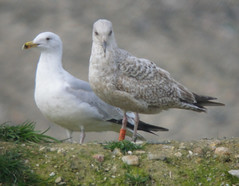 Goéland argenté - Larus argentatus - Herring Gull - 2:AXZ