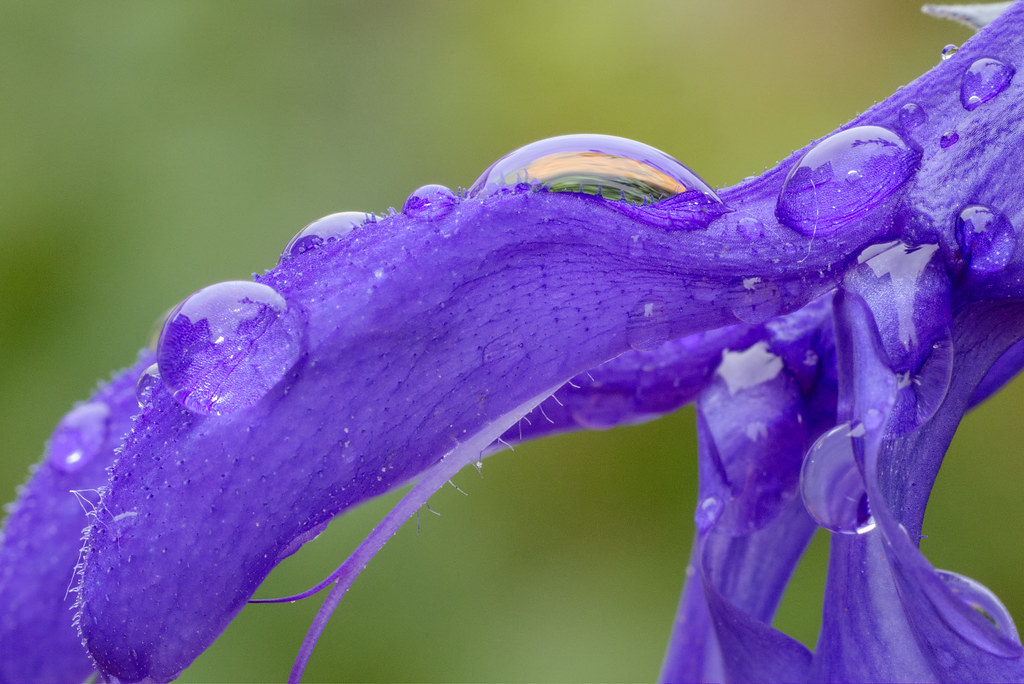 Raindrops cover the surface of the flowe of a black-and-blue salvia