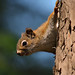 Small photo of American Red Squirrel