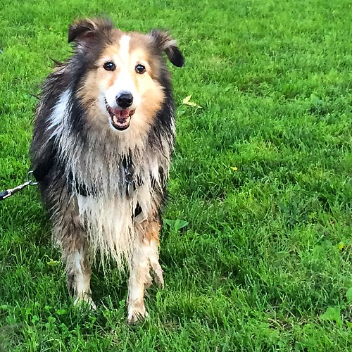 Maggie got a little muddy after her bath too. #sheltie #shetlandsheepdog