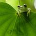 Glass frog (Proseblon sp.) by pbertner