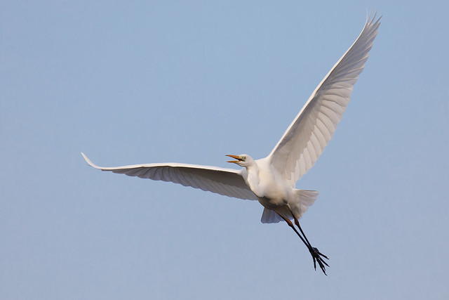 Great white egret (Westhay Moor)