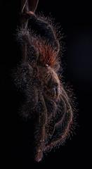Pink-toed tarantula  (Avicularia sp.) 5