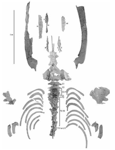 烏瑪鯨保存的化石狀況。已發表於哺乳動物學演化期刊(Journal of Mammalian Evolution, 2015 The earliest gulp-feeding mysticete (Cetacea: Mysticeti) from the Oligocene of New Zealand)。