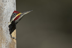 Lineated Woodpecker (Pica-pau-de-banda-branca)