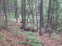 Pigs Rooting on Vandiver Creek