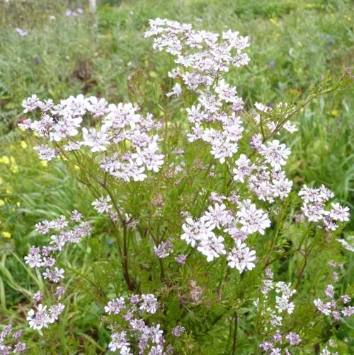Coriandrum sativum 19691717436_3e110901e4_o