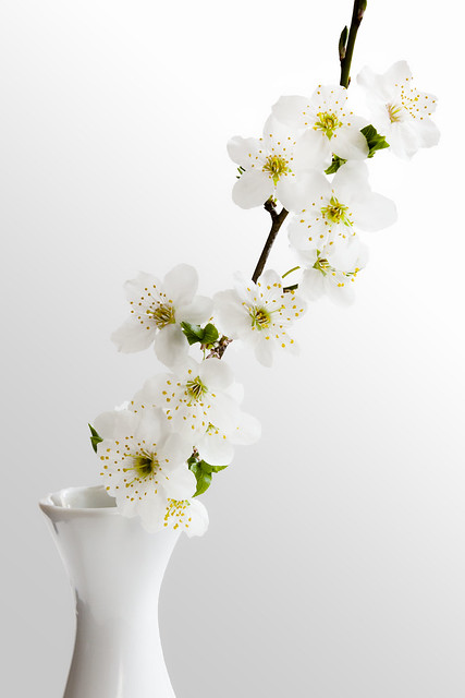 Little cherry-plum sprig in bloom. Photoshop edition