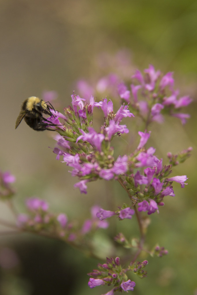 origanum and bee