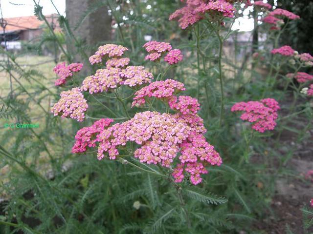 Achillea-Millefolium1