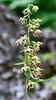 Broad-leaved Helleborine Orchid (Epipactis helleborine) by BiteYourBum.Com Photography