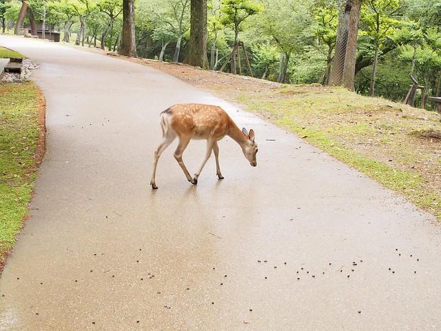deer poo