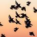 Brighton Starlings by lomokev