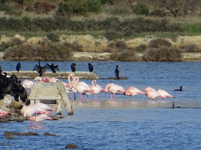 Flamingos and great cormorants