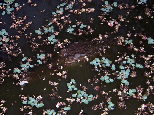 A 'cocodrilo' lurking amongst the flower petals in very pretty pond in Costa Rica.