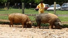 animal, domestic pig, pig, fauna, pig-like mammal,
