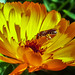 Collecting pollen from Calendula by Hasan Yuzeir
