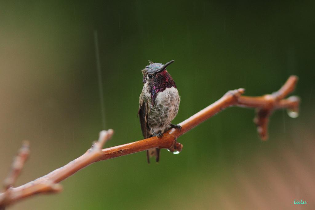 Costa's X Anna's Hybird Hummingbird 200715