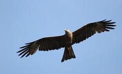 vulture(0.0), animal(1.0), bird of prey(1.0), eagle(1.0), wing(1.0), fauna(1.0), buzzard(1.0), bald eagle(1.0), accipitriformes(1.0), kite(1.0), beak(1.0), bird(1.0), flight(1.0),