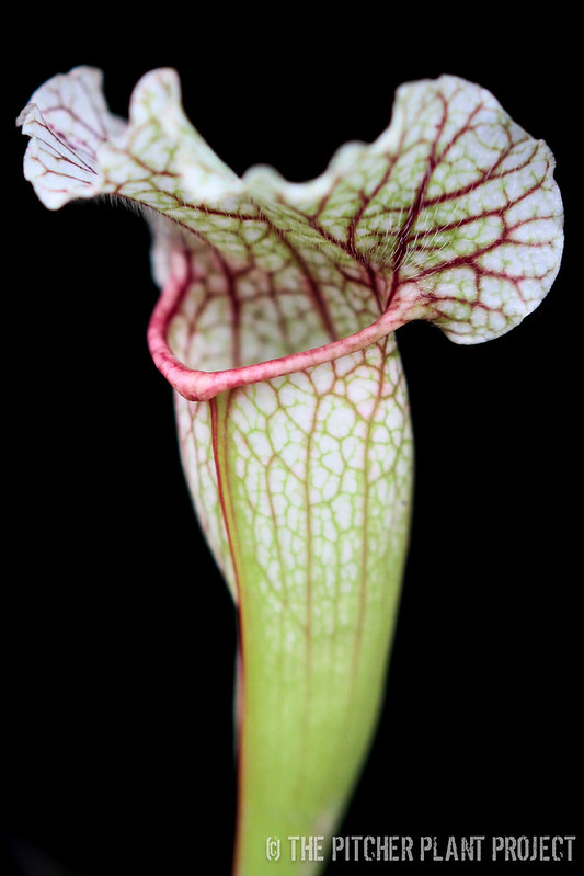 "Sarracenia ""Peedough's Passion"""
