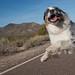 50/52 Road Runner, Road Runner, Runnin' Down the Road All Day by Jasper's Human