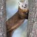 Pine Marten by missymandel