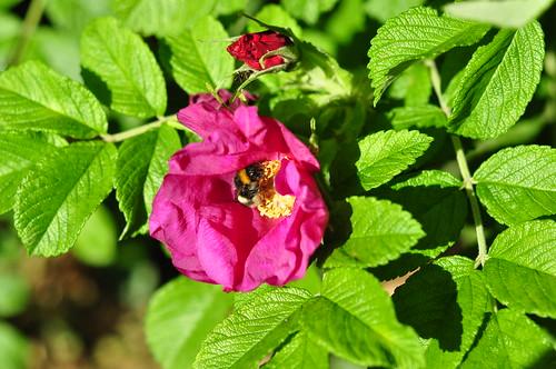 Odenwald Juni 2015 Wildkräuter Blüte Heckenrose Rosa corymbifera Foto Brigitte Stolle