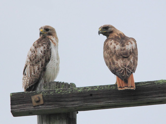 Red-tailed Hawks 20150711
